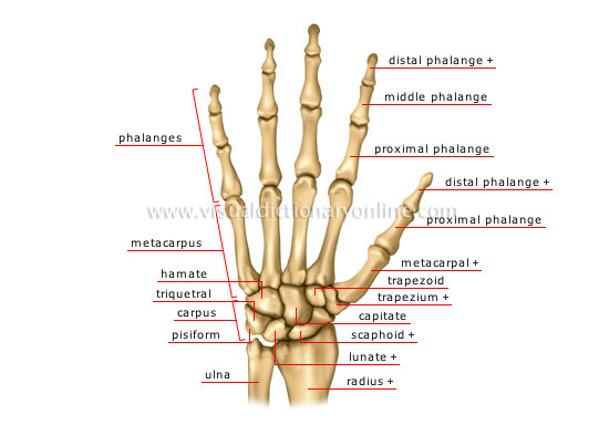 HUMAN BEING :: ANATOMY :: SKELETON :: HAND image - Visual ...