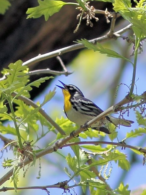 Yellow-throated Warbler COREL 20130514
