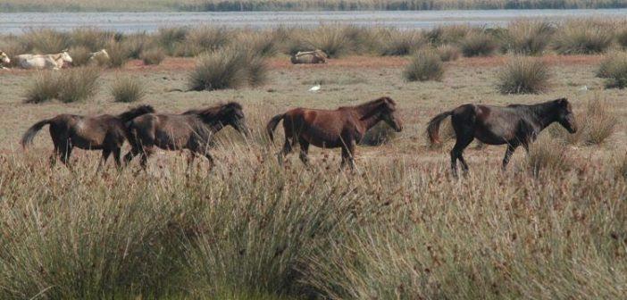 Τα άγρια άλογα του Νεοχωρίου στους βιότοπους της περιοχής (ΔΕΙΤΕ ΦΩΤΟ)