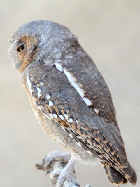 Elf Owl 20130614 - Copy