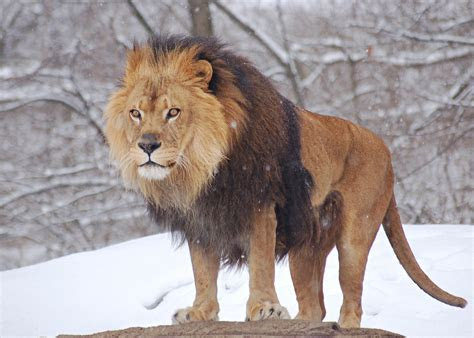 Archivo:African Lion Panthera leo Male Pittsburgh 2800px   Wikipedia, la enciclopedia libre