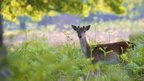 Fallow deer by James Morris