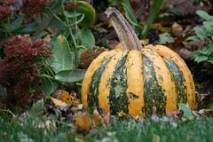 pumpkin 130