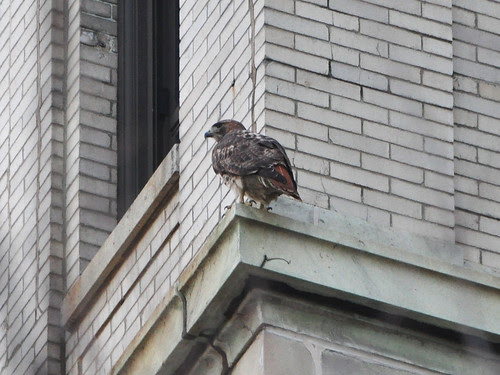 Hospital Red-Tail