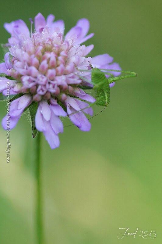 Orthoptera indéterminé