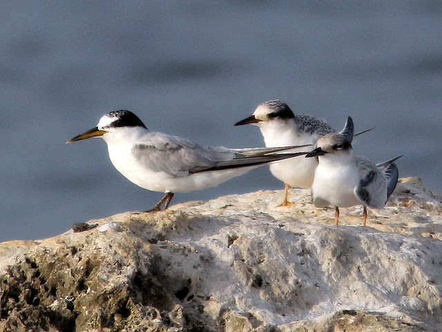 Least Tern adult w 2 juveniles 2-20110727