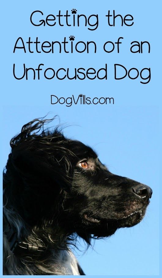 How Do I Get the Attention of an Unfocused Dog?- DogVills