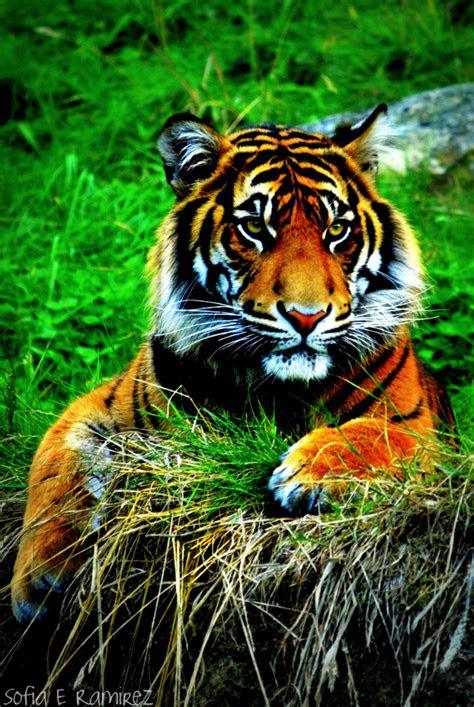 iphone  wallpaper tiger  sofiaeramirez  deviantart