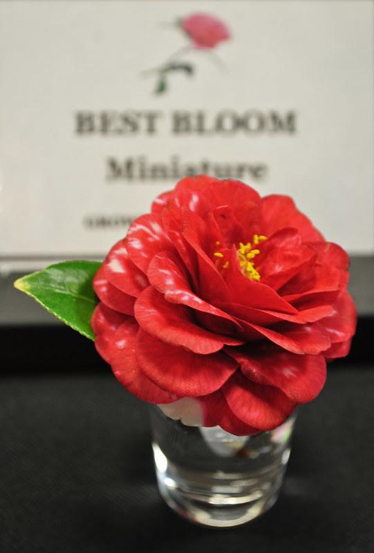 Camellia 'Firgone'
