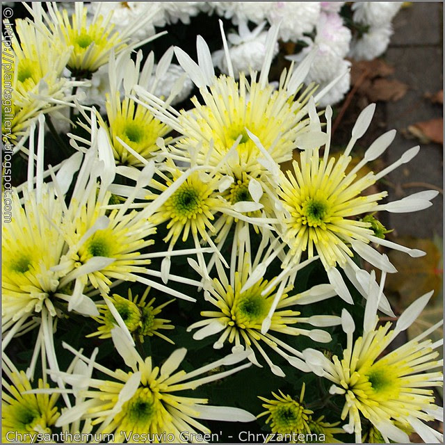 Chrysanthemum 'Vesuvio Green' - Chryzantema 'Vesuvio Green'