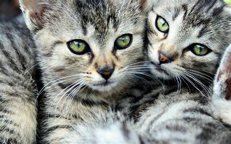 gatitos muy lindos  el fondo de tu pc  laptop gallery