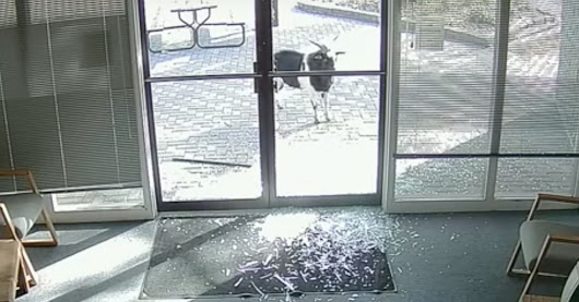 CAUGHT ON TAPE: Glass-Smashing Goat Vandalizes Business, Goes On The Lam | HuffPost