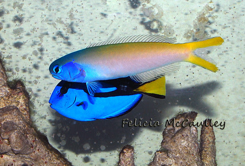 Blue Jaw Tilefish and Blue Tang