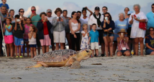 Summertime Success: Sea Turtle Release - New England Aquarium