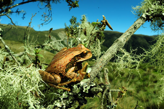 Research points to bacteria preventing deadly fungus in frogs