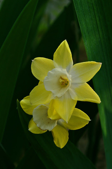 Narcissus (2)