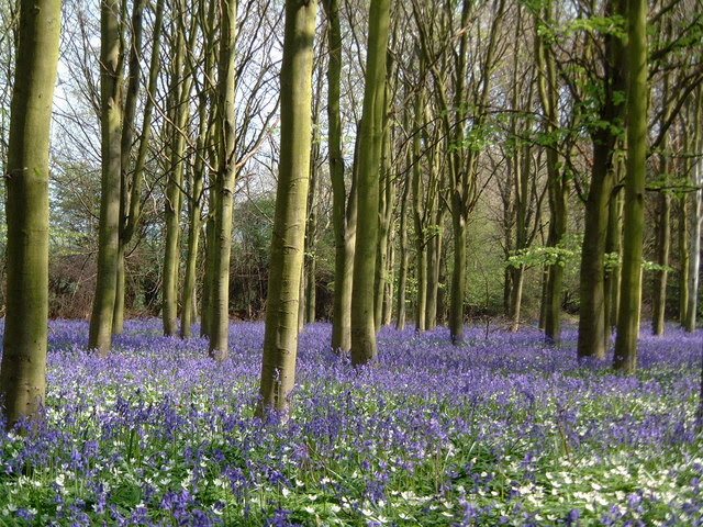 File:Bluebells at Helpston Heath - geograph.org.uk - 641739.jpg