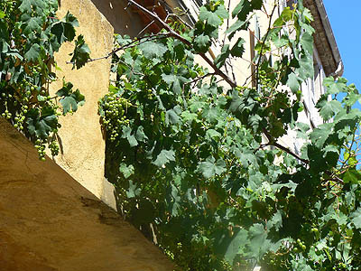 vigne saint tropez.jpg