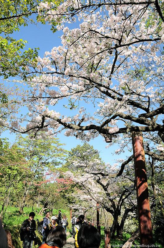 阿里山櫻花季95