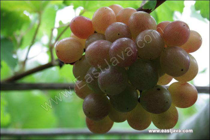 63+ Gambar Anggur Javan Paling Hist