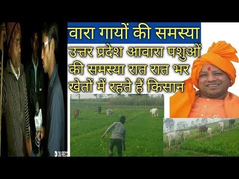Uttar pradesh के किसानों की गंभीर समस्या video । आवारा पशुओं से परेशान हैं किसान।