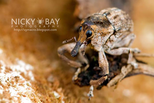 Weevil (Curculionidae) - DSC_9458