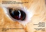 hyphema - bleeding right chamber of eye, netherland rabbit, 2 months