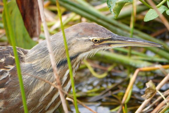 Ed Gaillard: birds &emdash; American Bittern, Green Cay