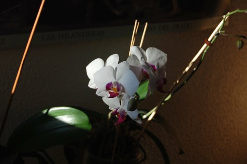 DSC_0380 Orquídeas