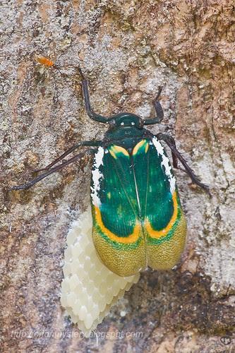 Fulgorid - Eurybrachyidae - Chalia pulchra laying eggsIMG_3669 copy