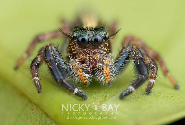 Jumping Spider (Salticidae) - DSC_0518