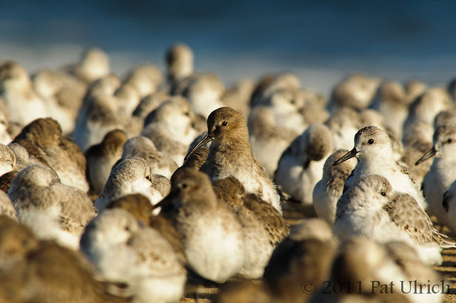 Shorebird welcoming committee - Pat Ulrich Wildlife Photography
