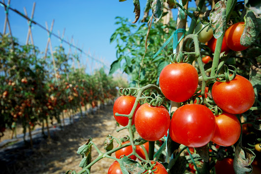 Help Struggling Tomatoes the Natural Way
