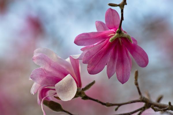pink! magnolia blossoms