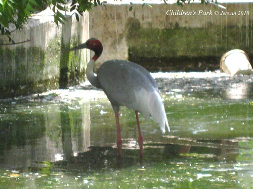 indian crane