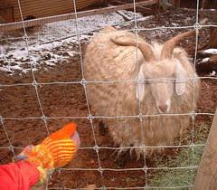 rug goat2