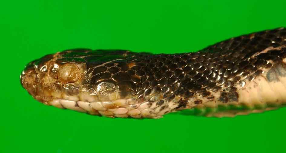 infected-eastern-rat-snake_de-green