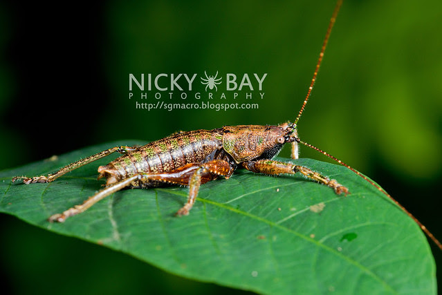 Cricket? Katydid? - DSC_7962