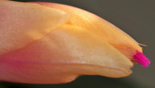 peach peekaboo