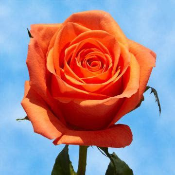 Orange Roses Cheap Mother's Day Flowers   GlobalRose