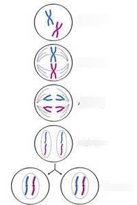 Meiosis Worksheet Answer Key Quizlet : Holt Biology Cell