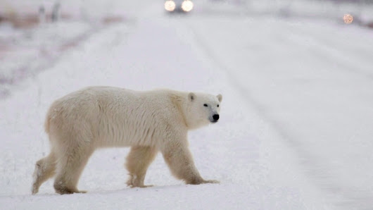 Quebec man, company convicted in illegal polar bear trade