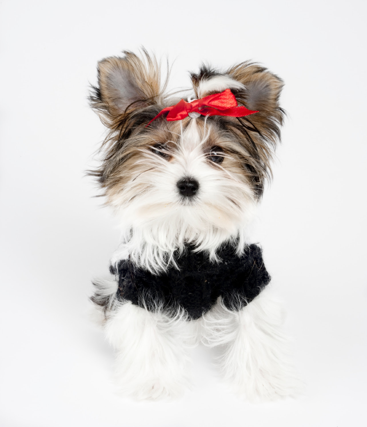 Buy Morkie Puppies In New Mexico USA
