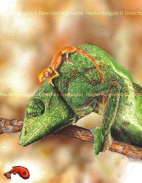Ilustración ciéntifica de un camaleón por Hache Holguín