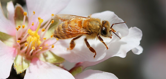 Bees face yet another lethal threat in dicamba, a drift-prone weedkiller | Food and Environment Reporting Network