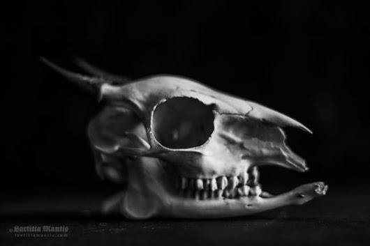 Horned | Photography | Skull | Limited edition