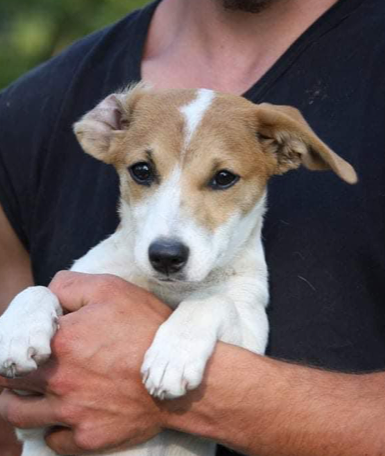 Ginger – 4 month old female Cross-Breed
