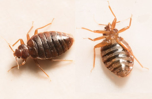 Youngstown Health Department fielding bed bug complaints