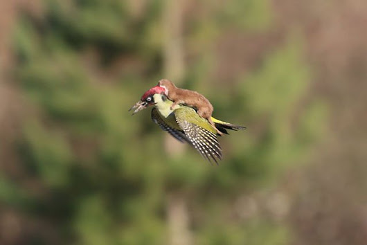 Photographer Captures Weasel Riding on the Back of a Flying Woodpecker