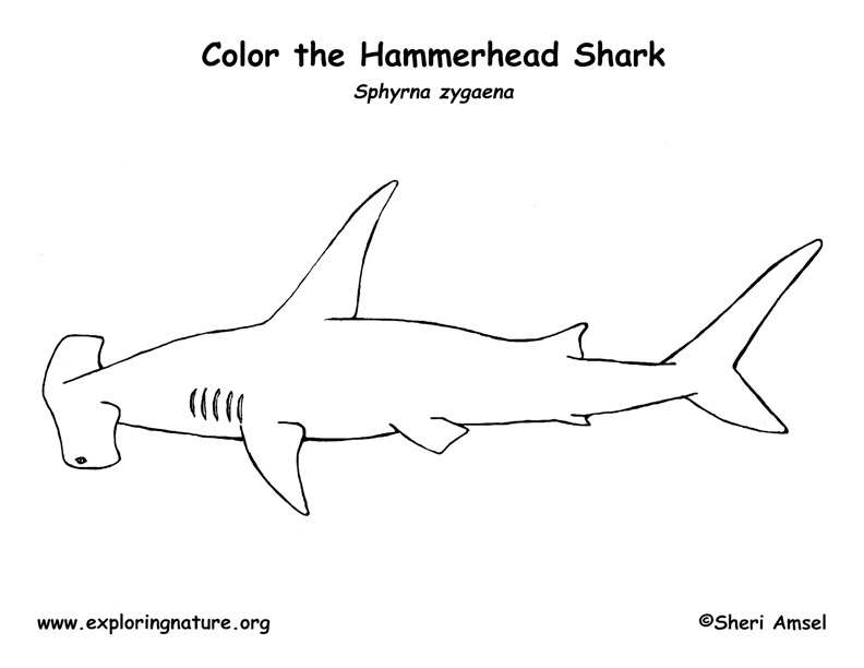 Shark (Hammerhead) Coloring Page -- Exploring Nature ...